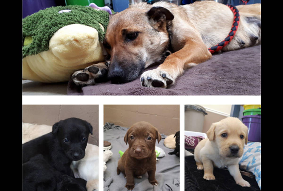 The BC SPCA in Fort St. John said on May , 2020 that staff are caring for an injured mom and nine puppies brought into care through a Good Samaritan who discovered the dogs and took them to a local vet. (BC SPCA photo)