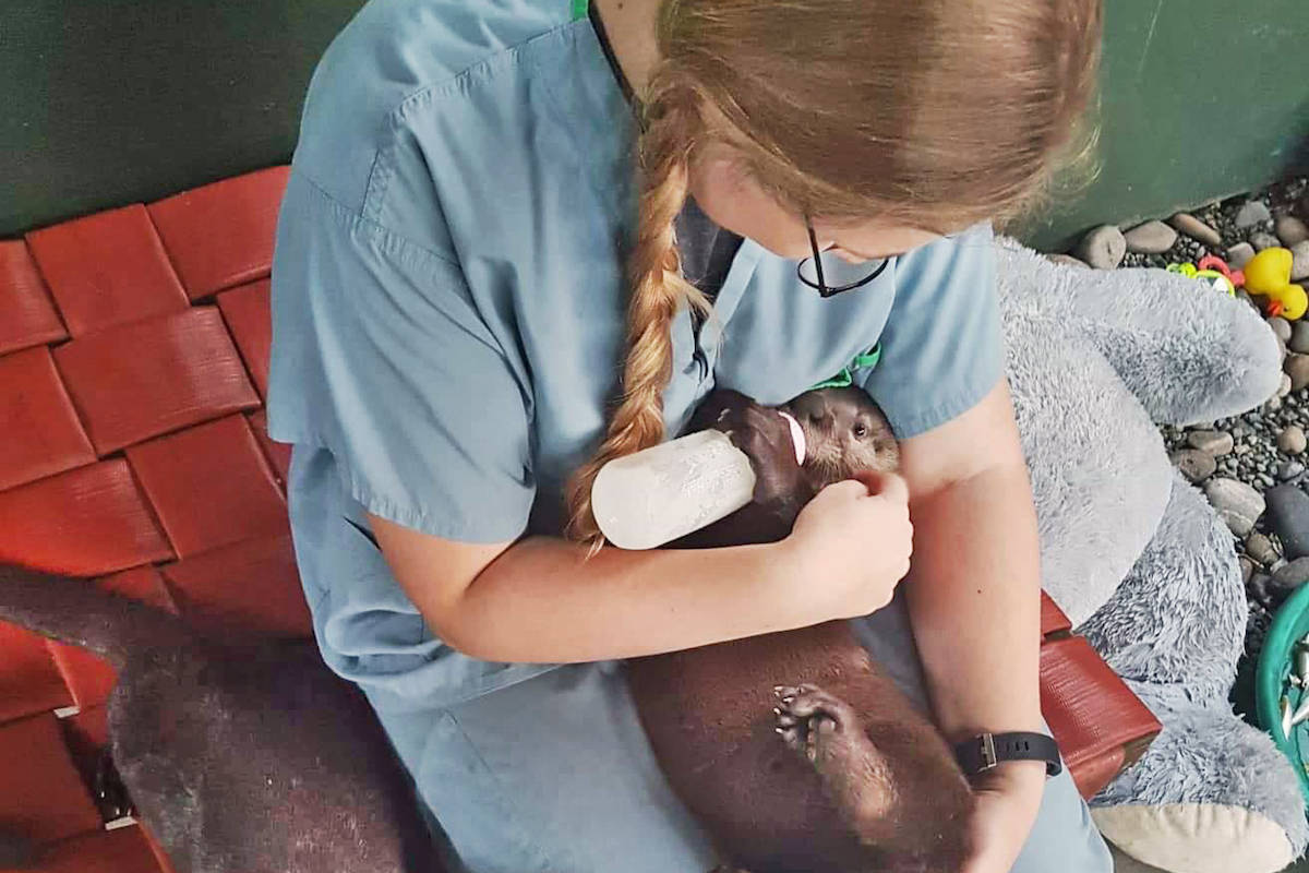 Critter Care Wildlife Society, which rescues and rehabilitates wild animals like otters, is in need of financial support during the COVID-19 pandemic – along with other Langley animal welfare organizations, including LAPS nd TinyKittens. (Critter Care photo)