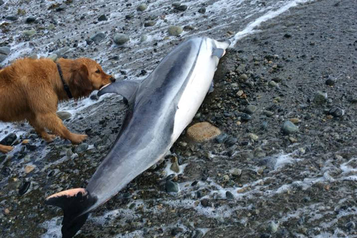 Alex Rinfret discovered a stranded striped dolphin on a Tlell beach on Wednesday, May 6, 2020, while walking her dog south of the Crow's Nest Cafe. Experts are calling Rinfret's discovery the first recorded sighting of the species on Haida Gwaii. (Alex Rinfret/Facebook photo)