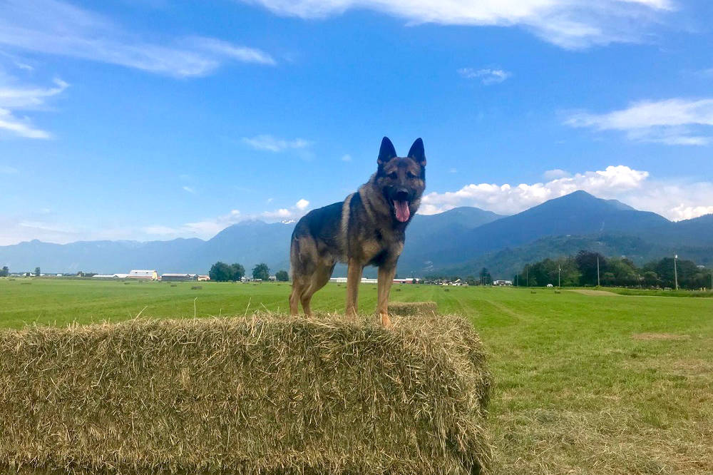 Police Services Dog Griff takes a break in a field. On May 2, he came face-to-face with a suspect allegedly breaking into a ranger station in Chilliwack. (RCMP photo)