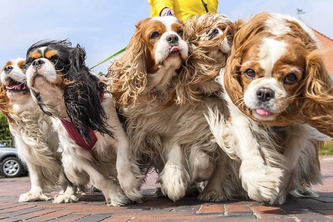 Five Cavalier King Charles Spaniel dogs for a walk in Greetsiel, northern Germany, Thursday, May 2, 2019. THE CANADIAN PRESS/Mohssen Assanimoghaddam/dpa via AP
