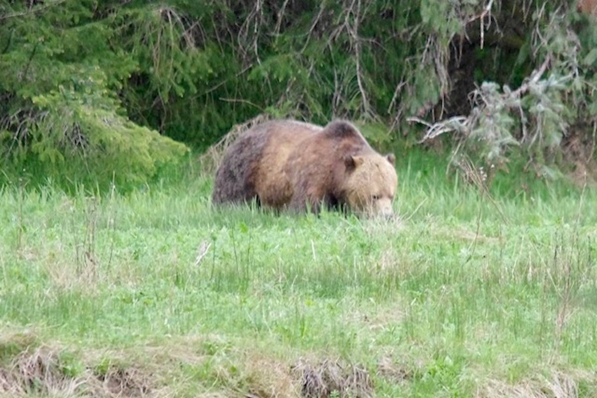 Sayward's acting mayor, Bill Ives, spotted this grizzly bear in the vicinity while he was out on a walk. (Submitted photo)