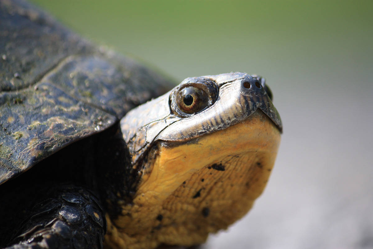 A Blanding's turtle (Gabrielle Fortin/Contributed)