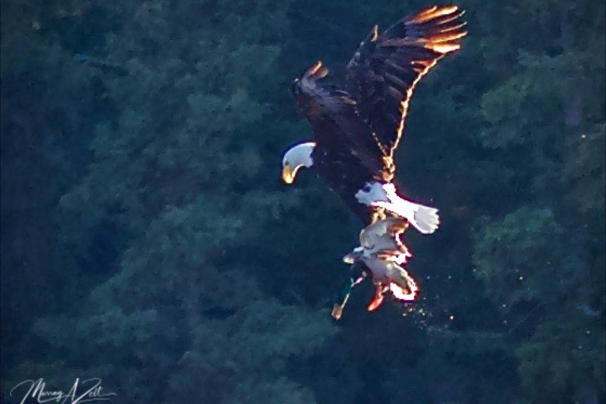 A bald eagle captures a mallard duck at 103 Mile Lake. (Photo credit: Murray Zelt)