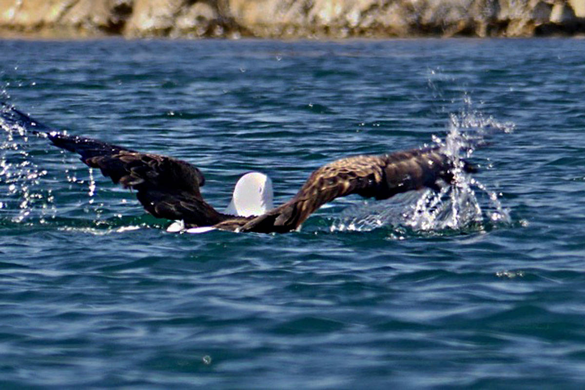 The eagle dragged its prey through the water. (Photo courtesy Jacques Sirois)