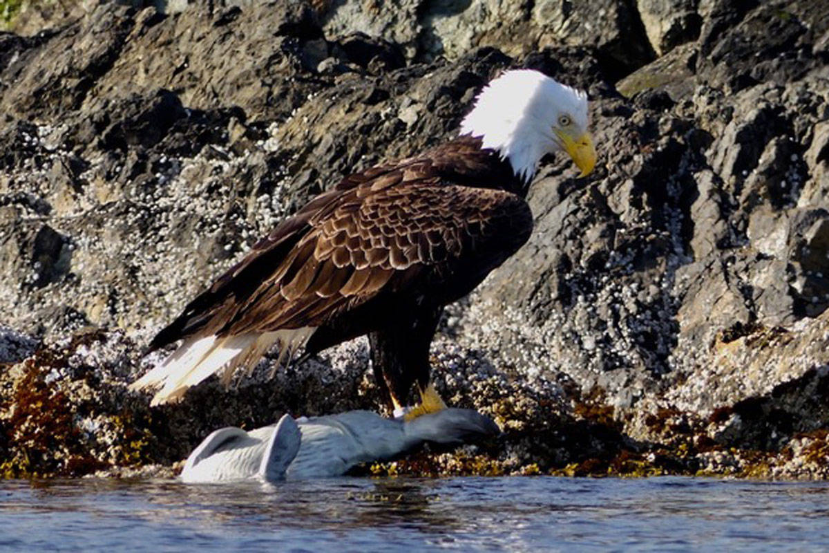 The large bird of prey hauled its heavy prey out of the water revealing a young seal. (Photo courtesy Jacques Sirois)
