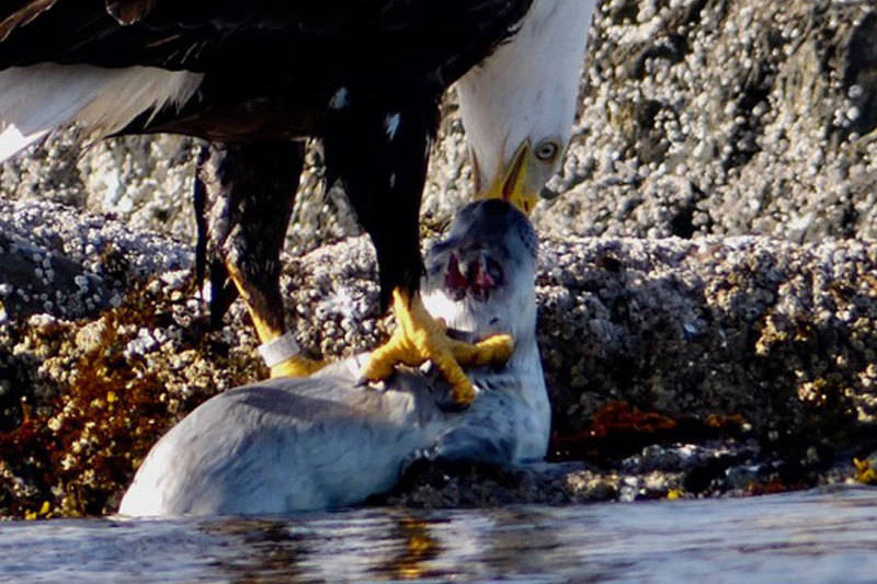 The eagle quickly started in on its meal. (Photo courtesy Jacques Sirois)