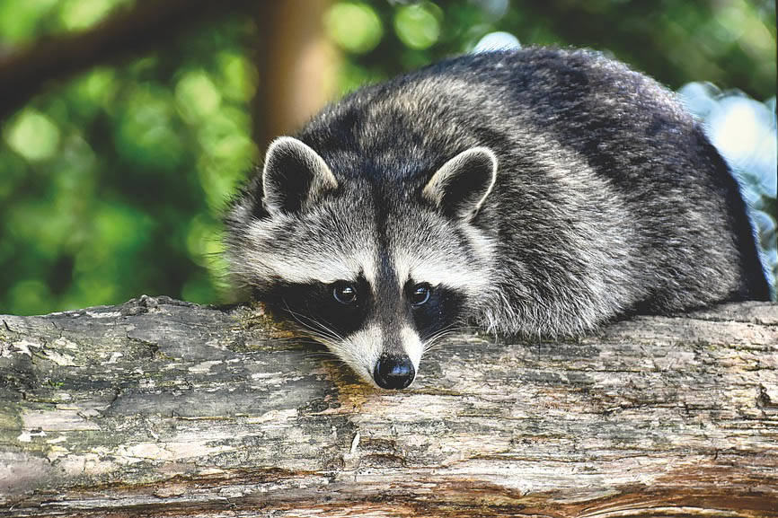 $2,000 reward for info on suburban trap after raccoon dies