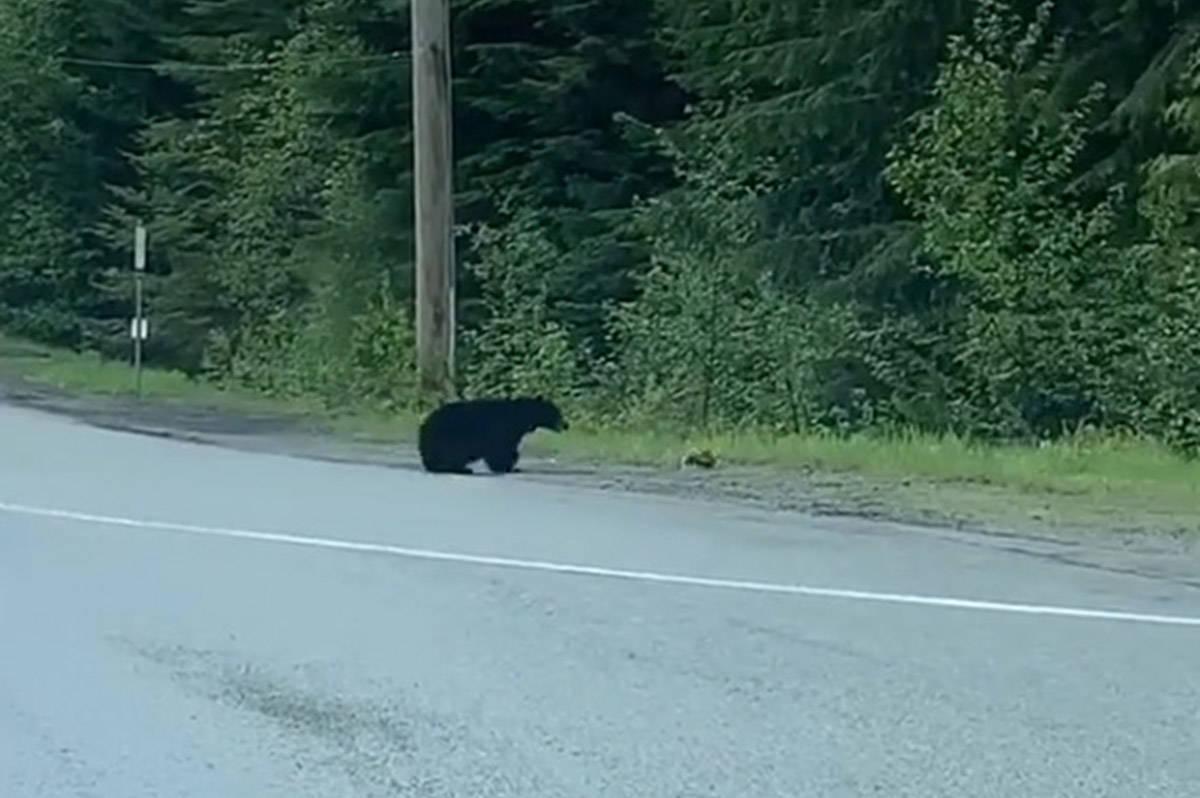 Bear seen hunting down a rabbit in Whistler, B.C., on May 25, 2020. (danielmb101/Instagram)