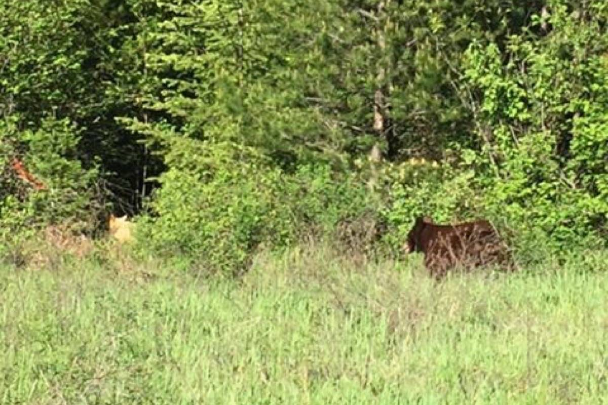 The cream-coloured bear can be seen running off into the forest in the left portion of the photo. (Alexandra Buhr photo)