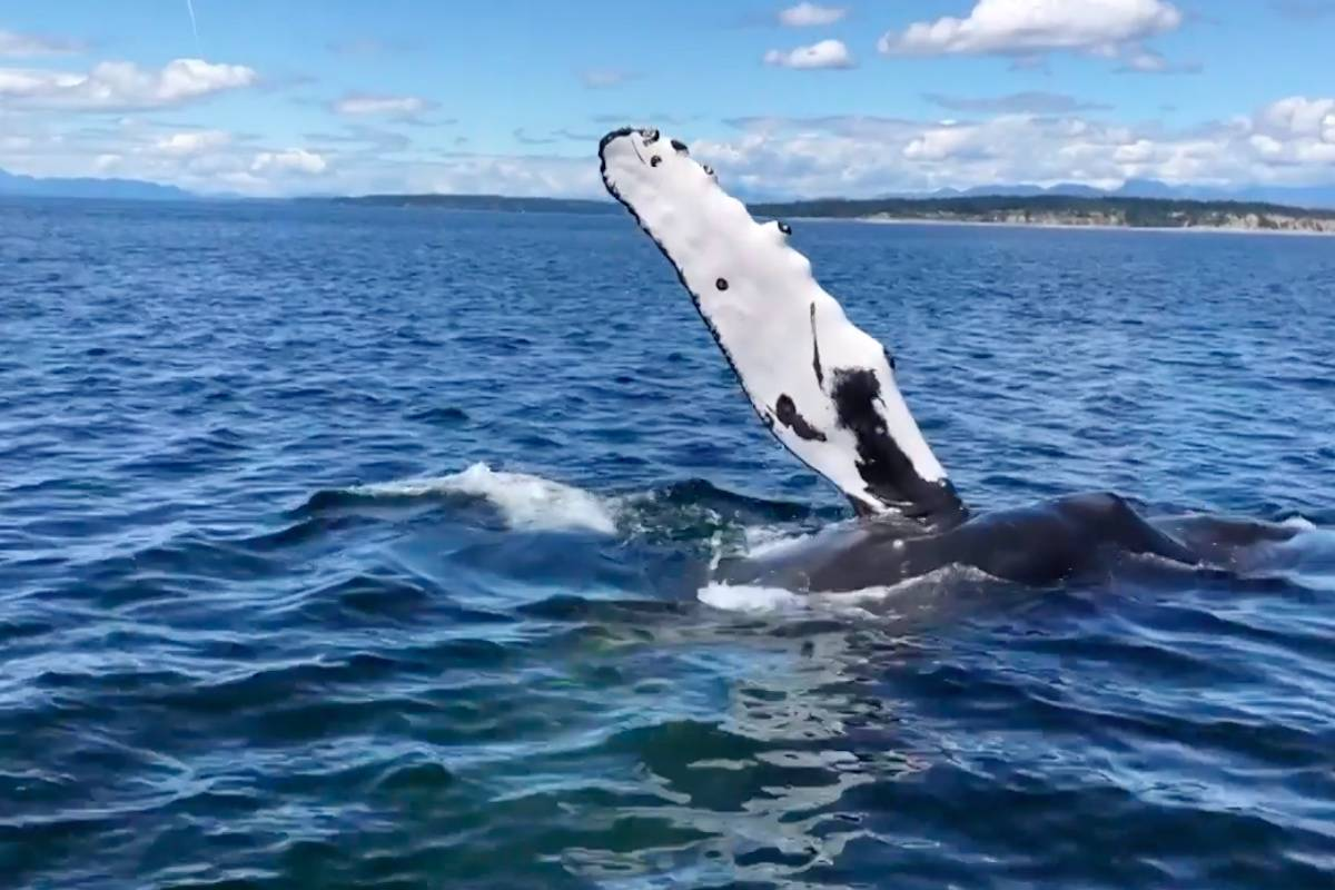 In a video captured by local whale watching tour operators in Campbell River, humpback whales were seen playing near their boat. (Photo/Eagle Eye Adventures)