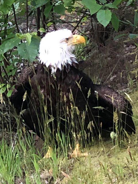 This bald eagle is currently at the Orphaned Wildlife Rehabilitation Society in Coquitlam after St'sailes Chief Ralph Leon, Jr. and other members of the First Nation community watched over it, waiting for rescue on Tuesday. (Contributed Photo/Chief Ralph Leon, Jr.)