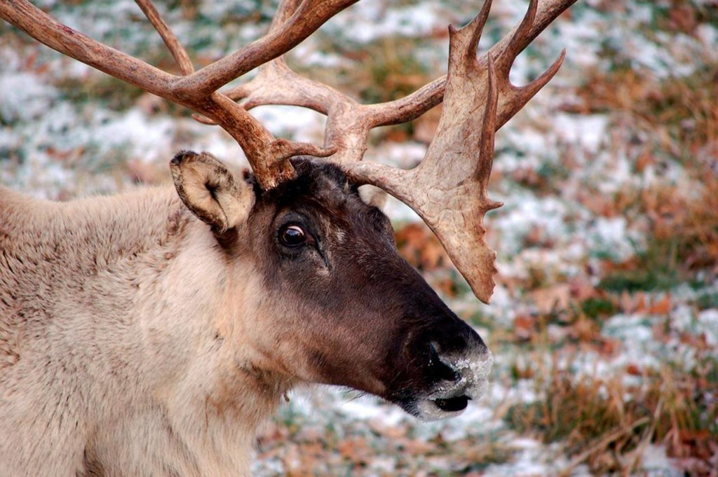 'It is dire:' Study finds B.C. logging continues on critical caribou habitat - Langley Advance Times