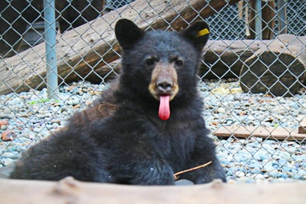 Public gets chance to name Langley bear cub - Langley Advance Times