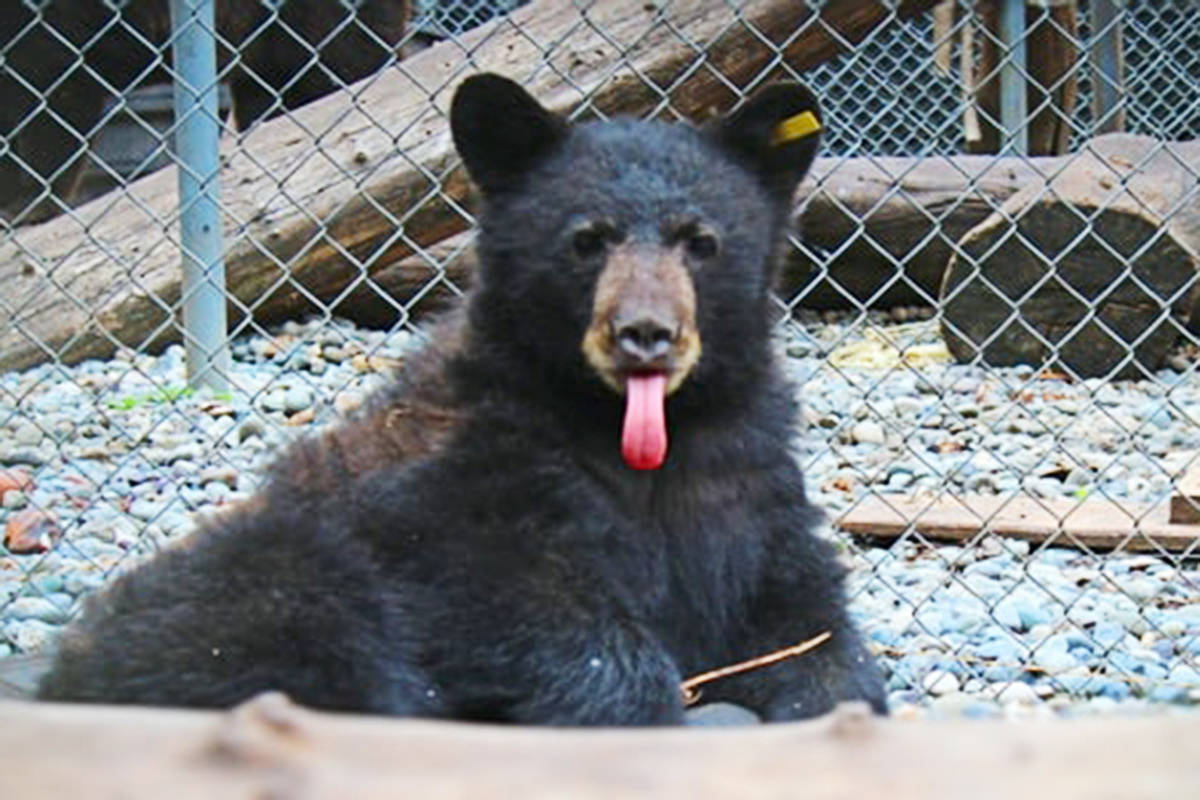 Critter Care is offering the public a chance to name this bear cub. Each entry is a $3 donation to the wildlife rehabilitation shelter. (Critter Care Wildlife Centre)