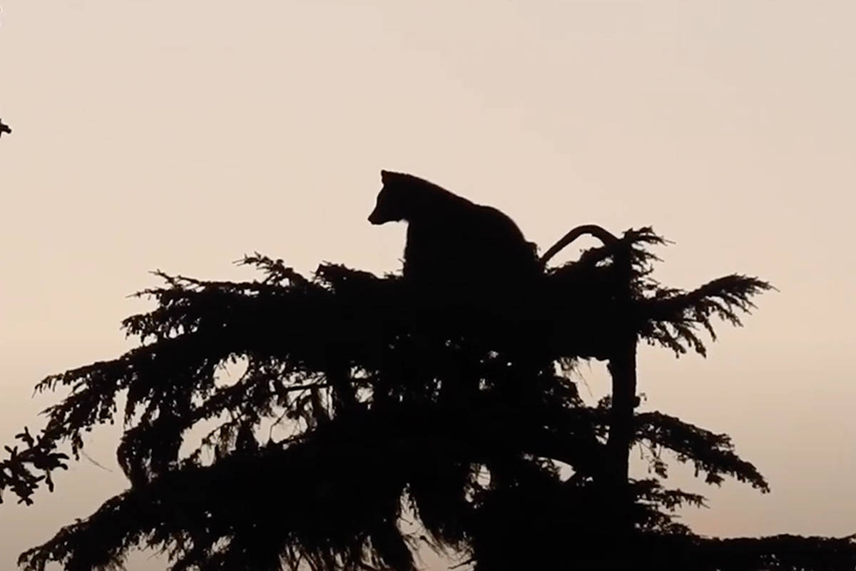 A young black bear settling in for a sleep in a tree frequented by eagles on Vancouver Island's east coast. (Terry Eissfeldt video still)