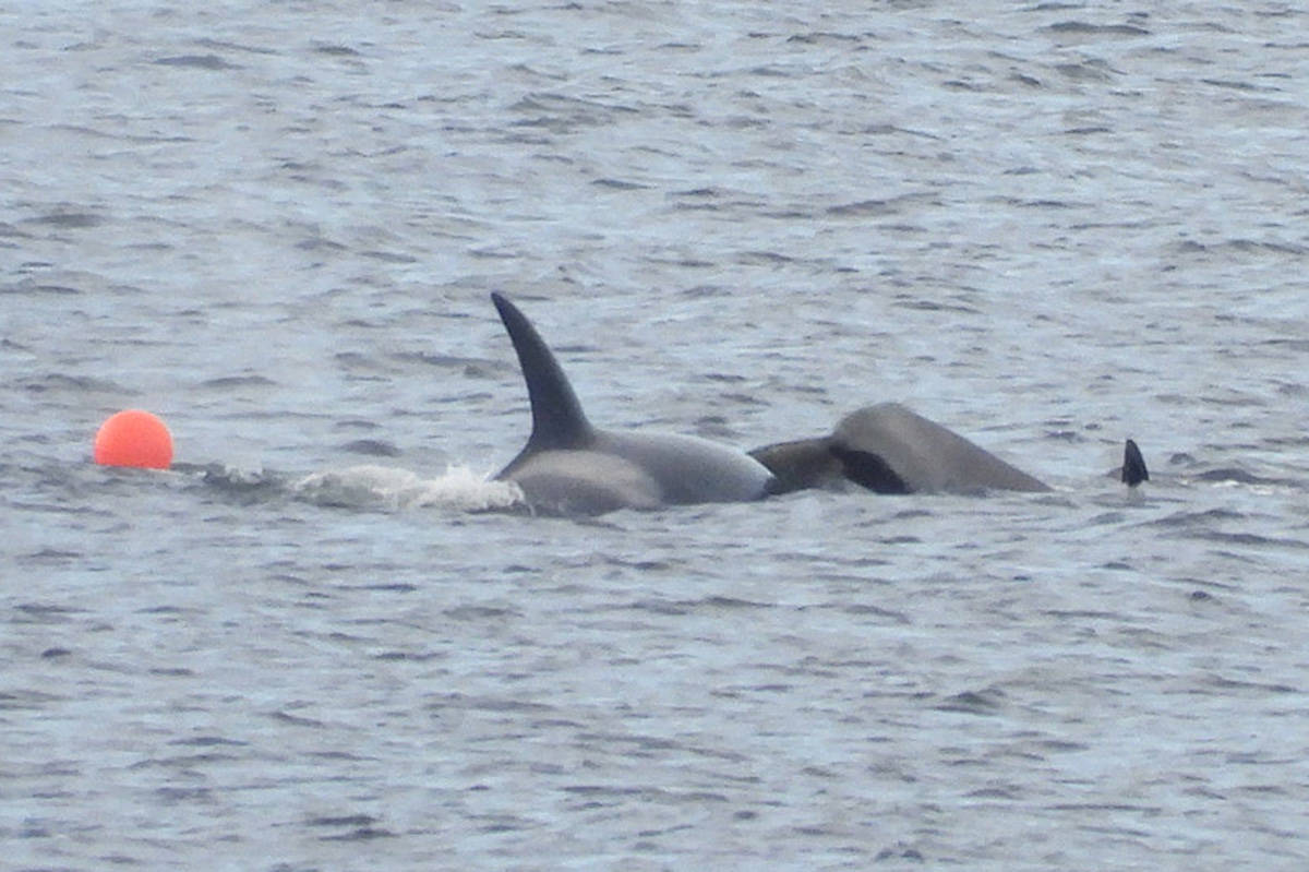 A young killer whale that became entangled in a prawn trap line in the waters off Rocky Point in Nanaimo receives help from an older whale. The juvenile orca eventually managed to free itself. (Photo courtesy Ricarda Brusegard)