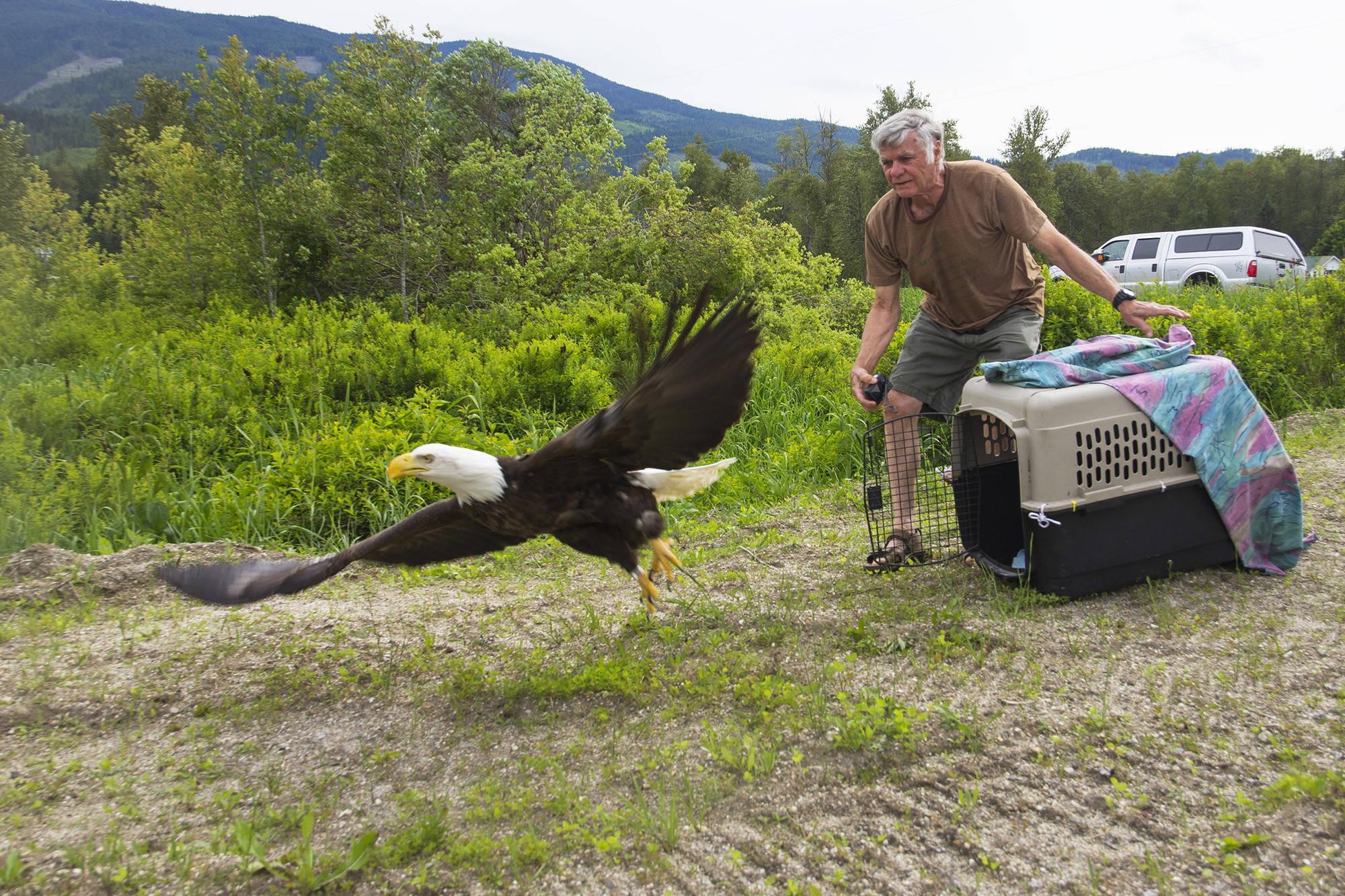 OWL rehabilitation society volunteer Gary Turner releases an injured bald eagle in Malakwa on Friday, June 5. (Jim Elliot/Eagle Valley News)
