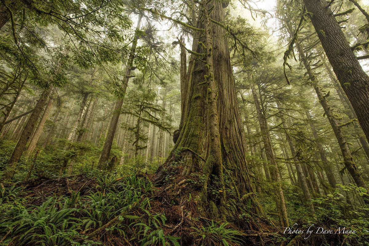 Old growth wood remains a mainstay for logging in Vancouver Island. (Dave Mann)