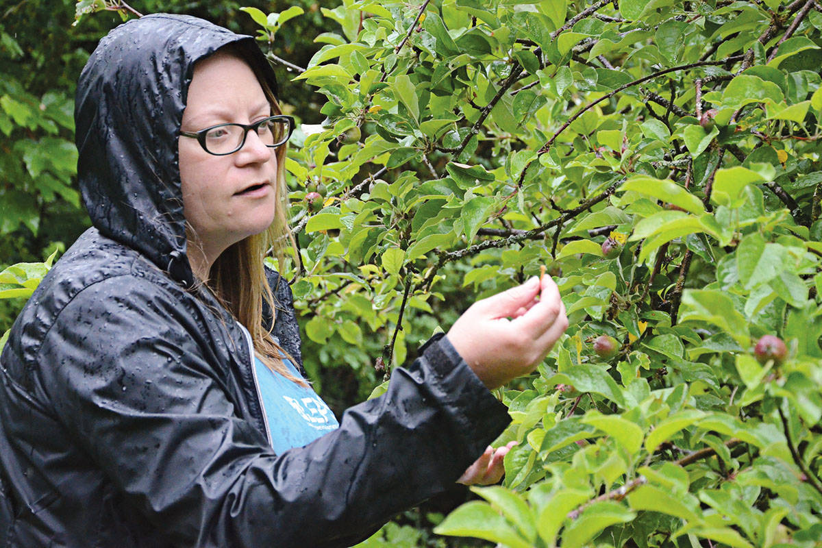 Amanda Smith of LEPS checks out apples on a tree at Campbell Valley Regional Park in South Langley on June 15, 2020. LEPS' gleaning program will harvest unwanted fruit in parks and back yards this summer and fall. (Matthew Claxton/Langley Advance Times)