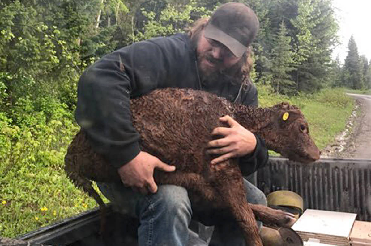 Brad Bednarz holds an injured calf he and his dad Wyatt rescued from a bear attack north of Williams Lake. (Gail Bednarz photo)
