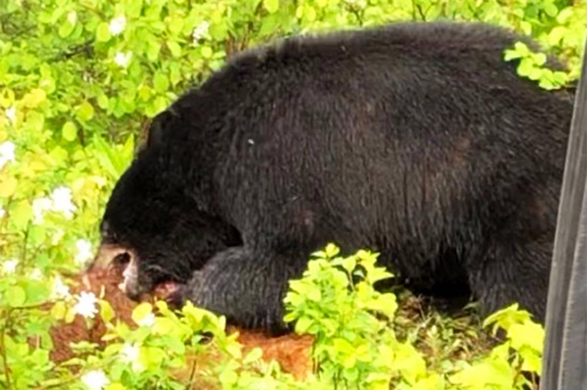 A black bear attacks a baby calf off Lynes Creek Road north of Williams Lake. (Gail Bednarz photo)