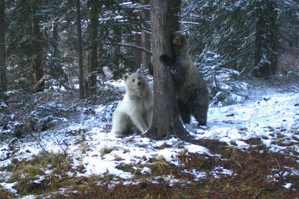 A rare white grizzly is shown in Banff National Park in this 2019 handout photo. A wildlife photographer is worried about a rare white grizzly in the mountain parks after watching people get too close to it and seeing it run across the highway. The bear, which has been nicknamed Nakoda by locals, was first revealed publicly after it was spotted in Banff National Park in late April. Parks Canada says it's not an albino, but a natural colour phase variation that makes the three-and-a-half year old bear white. THE CANADIAN PRESS/HO - Parks Canada 2019