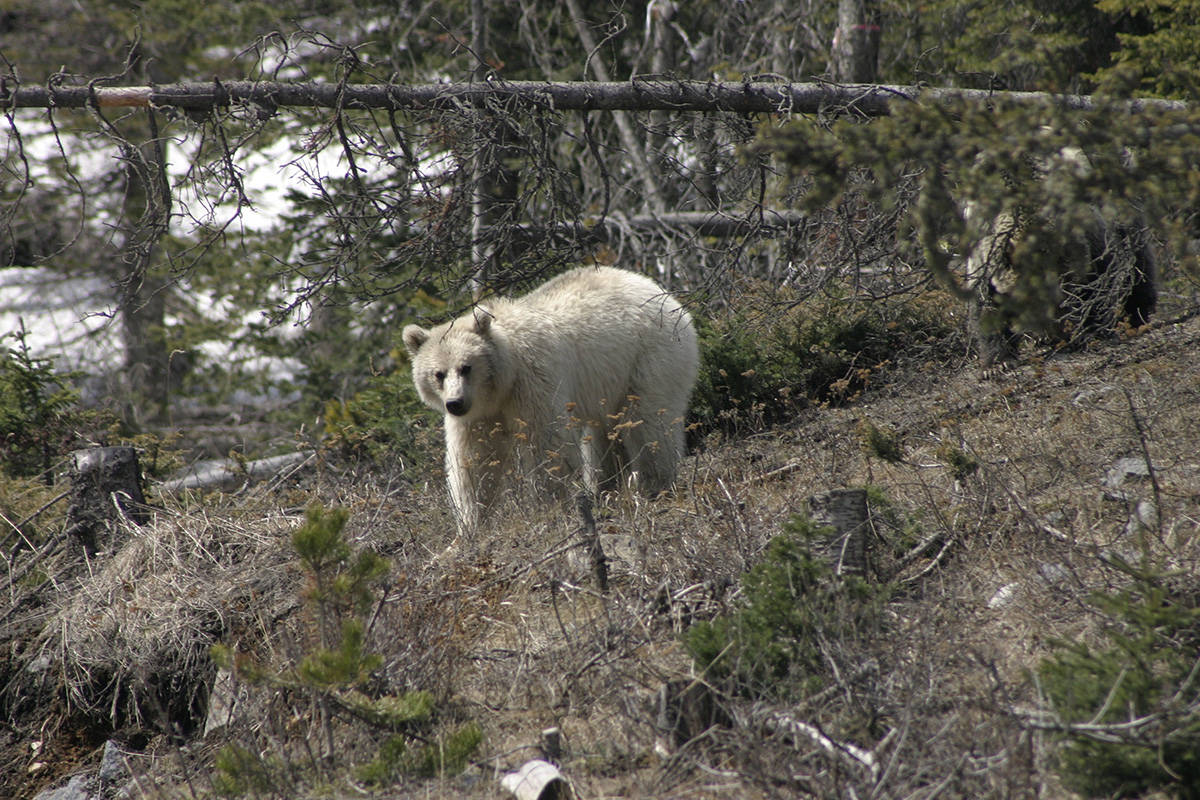 A rare white grizzly is shown in Banff National Park in this 2020 handout photo. A wildlife photographer is worried about a rare white grizzly in the mountain parks after watching people get too close to it and seeing it run across the highway. The bear, which has been nicknamed Nakoda by locals, was first revealed publicly after it was spotted in Banff National Park in late April. Parks Canada says it's not an albino, but a natural colour phase variation that makes the three-and-a-half year old bear white. THE CANADIAN PRESS/HO - Parks Canada 2020, Sonia Nicholl
