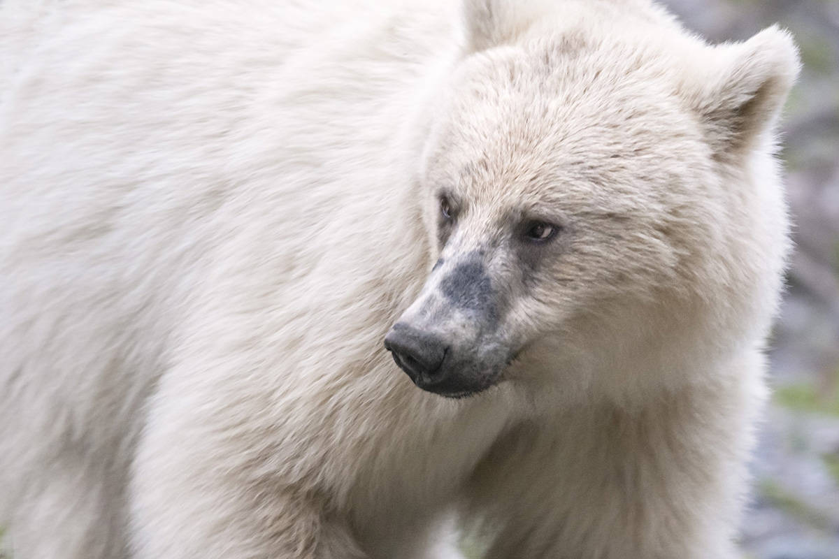 A rare white grizzly is shown in Banff National Park in this undated handout photo. A wildlife photographer is worried about a rare white grizzly in the mountain parks after watching people get too close to it and seeing it run across the highway. The bear, which has been nicknamed Nakoda by locals, was first revealed publicly after it was spotted in Banff National Park in late April. Parks Canada says it's not an albino, but a natural colour phase variation that makes the three-and-a-half year old bear white. THE CANADIAN PRESS/HO - Jason Bantle