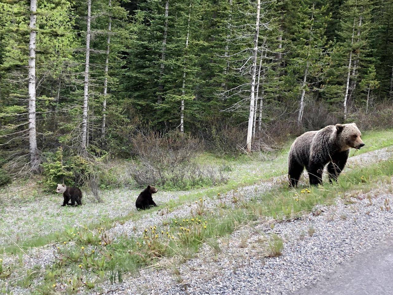 A group of grizzly bears are seen in Banff National Park in this handout image provided by Julia Turner Butterwick. (JULIA TURNER BUTTERWICK/THE CANADIAN PRESS)