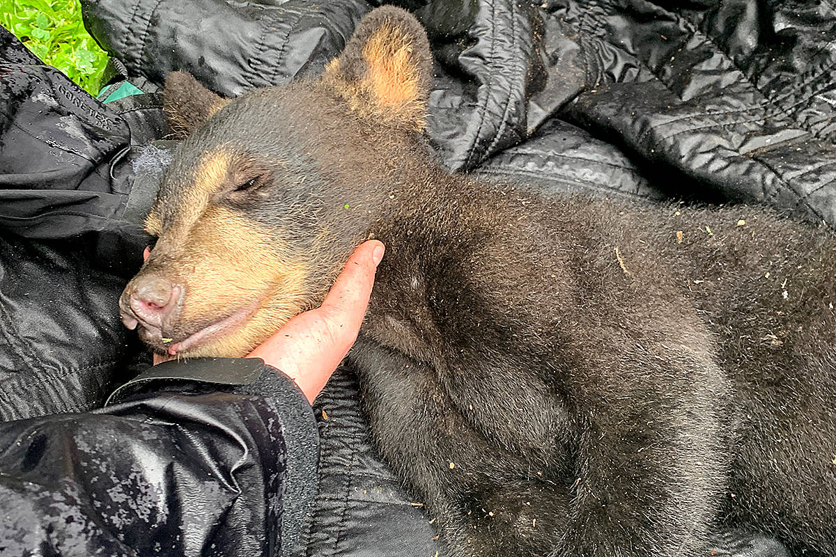 A cub, believe born in January or February, was one of two black bear babies and a mother tranquilized and transported to the outskirts of Maple Ridge Monday, after a confrontation with a dog in the residential area south of Dewdney Trunk Road and Burnett Street. (Special to The News)