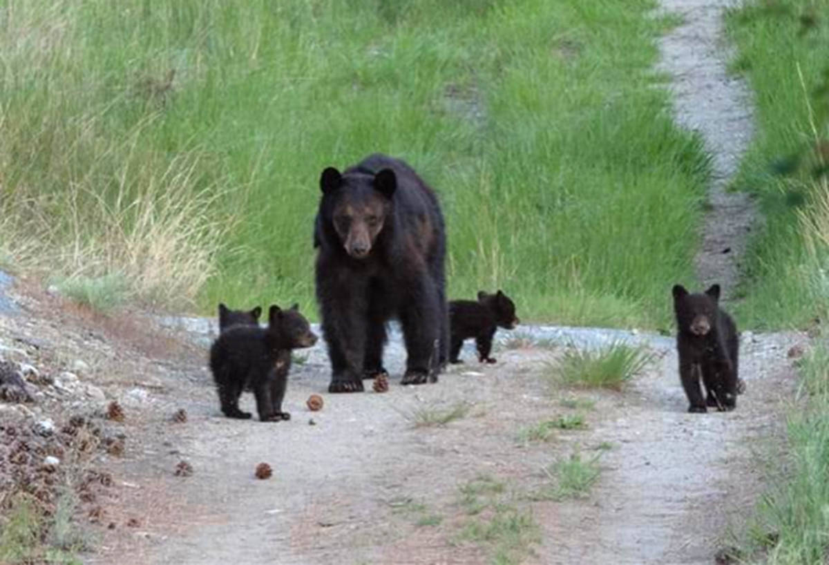FILE – A bear and five cubs have been reported in the Upper Evergreen Dr. of the Wiltse area of Penticton. (WildsafeBC - Facebook)
