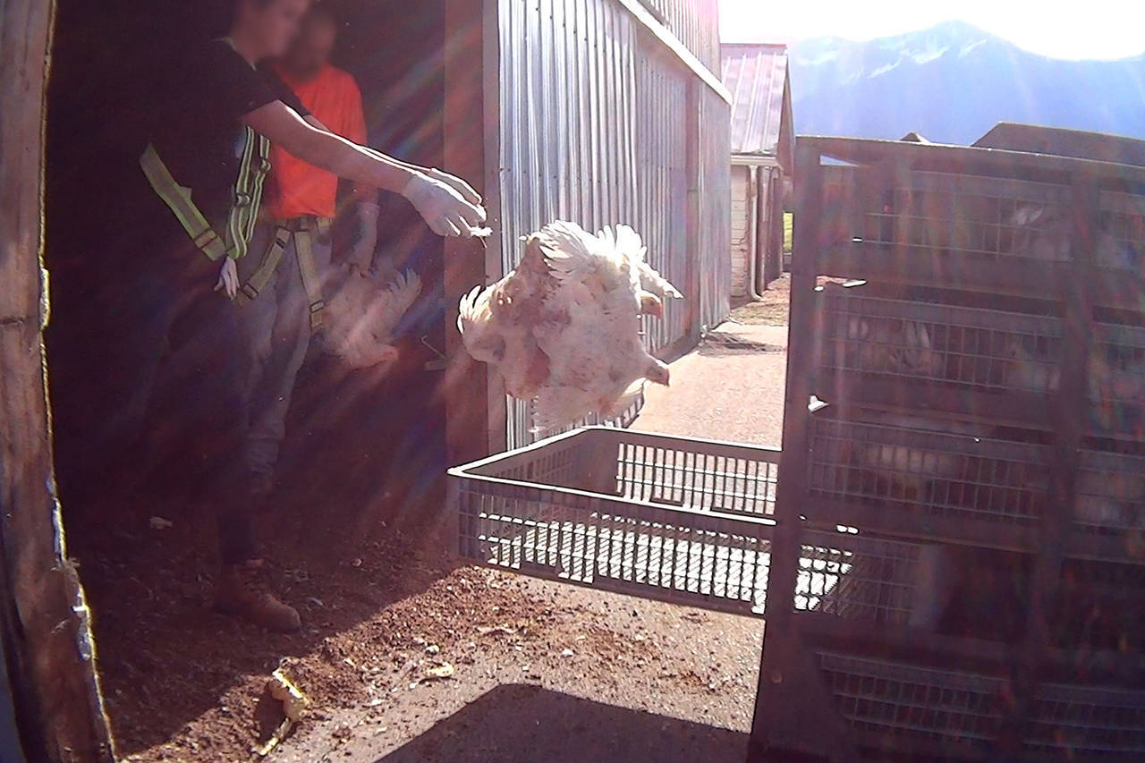 A worker employed by a Chilliwack-based agricultural employer seen throwing a chicken in an undercover video in 2017 filmed by California-base animal rights activists Mercy For Animals.