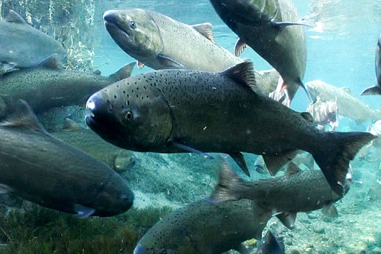 More restrictions for Fraser River chinook fishers