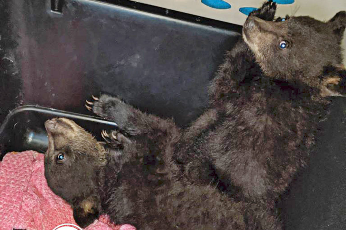A brother and sister, both weighing nine pounds, were brought into the Critter Care Wildlife Society rehabilitation centre recently. (Critter Care photo)