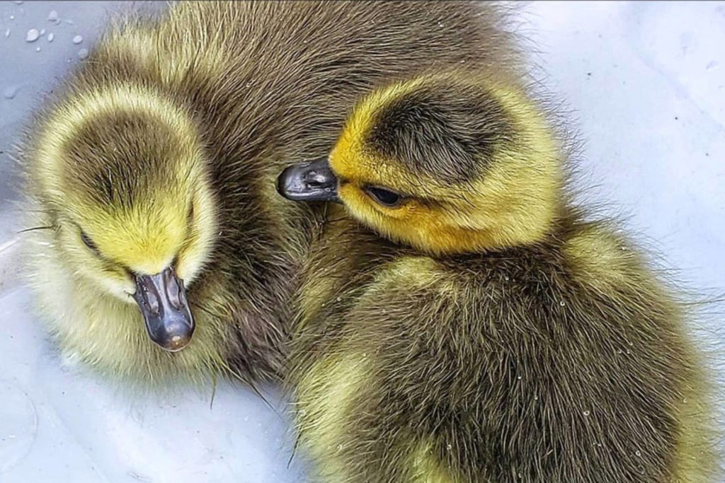 Leanne Bourgoin-Faessler rescued these two ducklings while traveling between Hope and Agassiz. They were returned to the nearest body of water, likely adopted by another mother duck. (Contributed Photo/Leanne Bourgoin-Faessler)