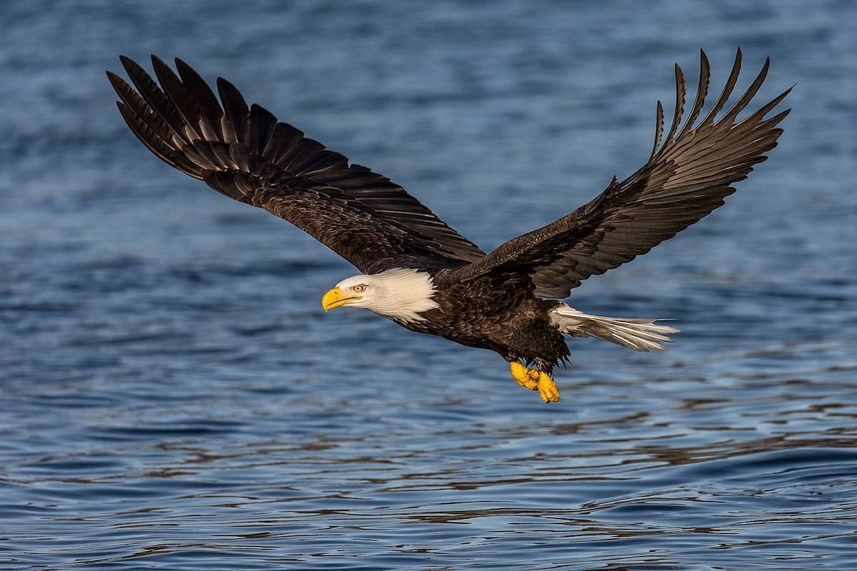 A representational image of the bald eagle found near Campbell River. (Wikimedia commons)