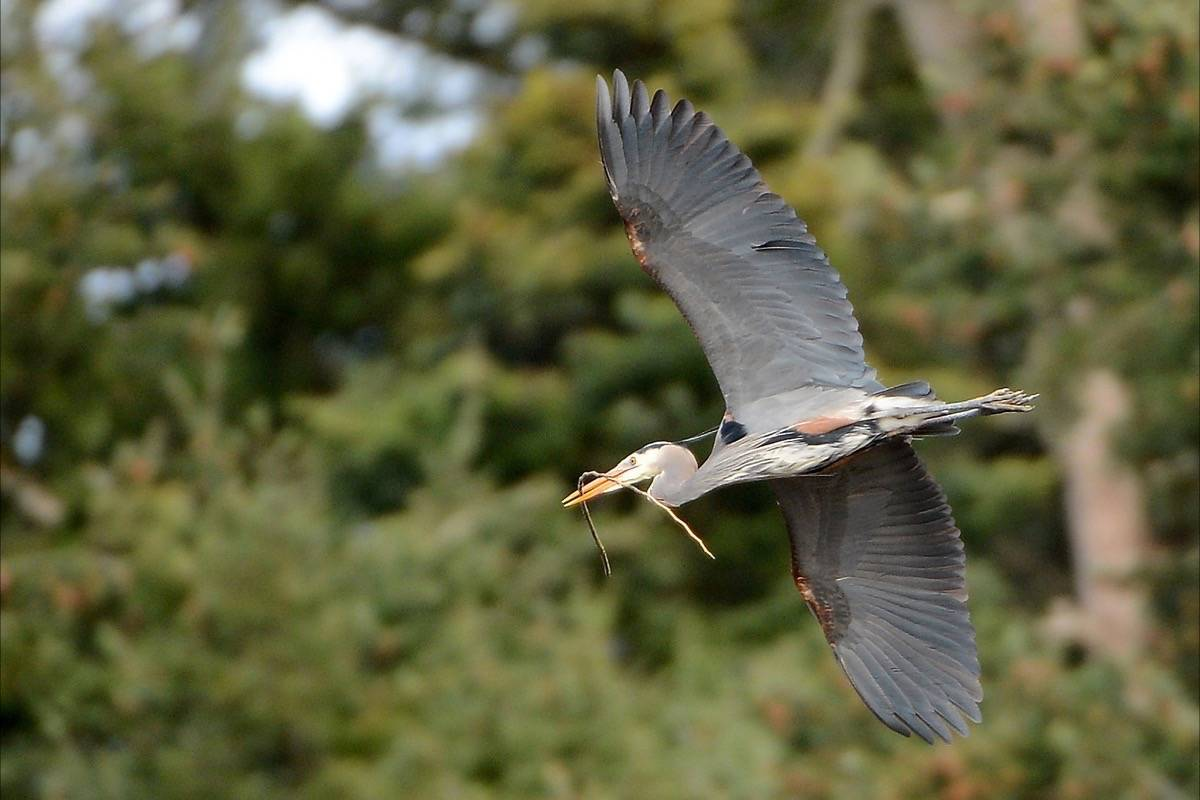A great blue heron takes flight at the George C. Reifel Migratory Bird Sanctuary in Delta, B.C. (Boaz Joseph photo)