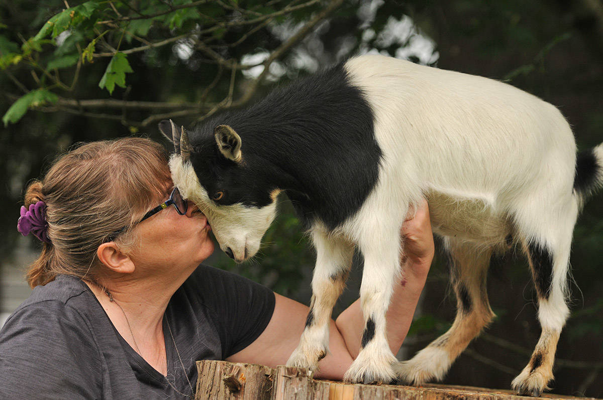 Charity Stobbe, seen here with her fainting goat, Stevie Nicks, is retiring on June 25 after 35 years of teaching in the Chilliwack School District. (Jenna Hauck/ The Progress)