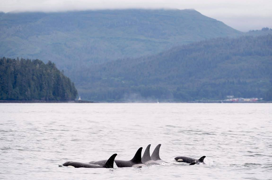 Orcas play in Chatham Sound near Prince Rupert, B.C., Friday, June, 22, 2018. A hush has blanketed the waters off the British Columbia coast as the pandemic has marked a significant reduction in sea traffic, which scientists say is an opportunity to study how noise affects southern resident killer whales. THE CANADIAN PRESS Jonathan Hayward
