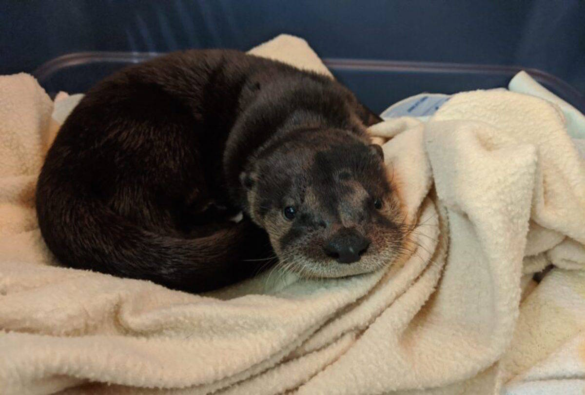 A baby otter is recovering at Wild ARC in Metchosin after her mom was hit and killed by a motorist in East Sooke. (Wild ARC photo)