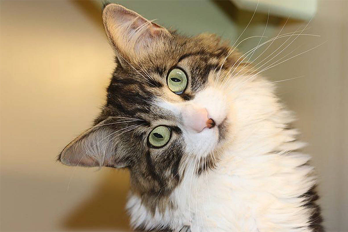 Cat rescued from 100-foot tree near Fort Langley