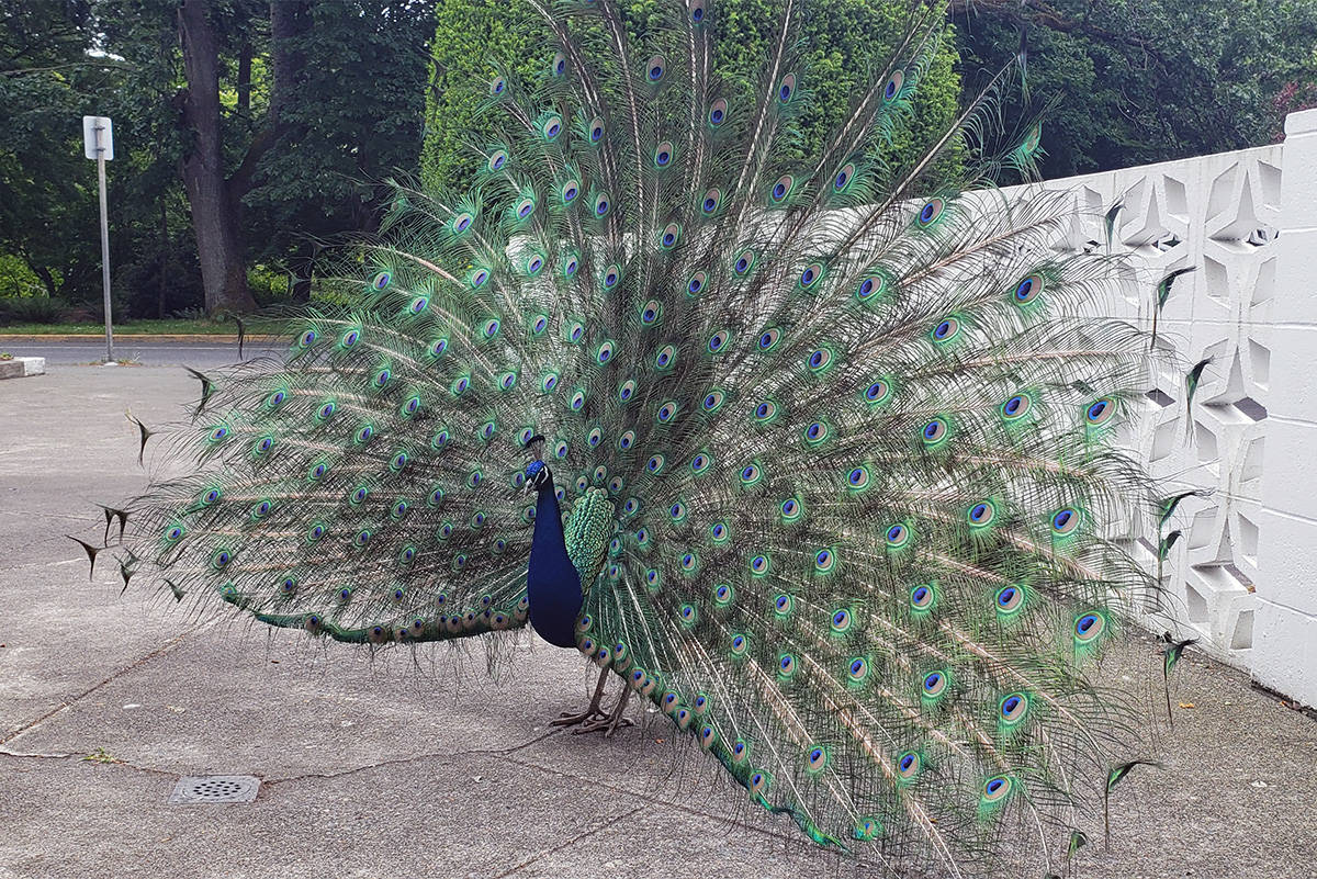 An aggressive peacock has been put into 'solitary confinement' after wreaking havoc on the front entranceway of a Douglas Street apartment building. The bird is safe, says Victoria Animal Control Services, but will be held there for some time. (Courtesy of Susan Simmons)