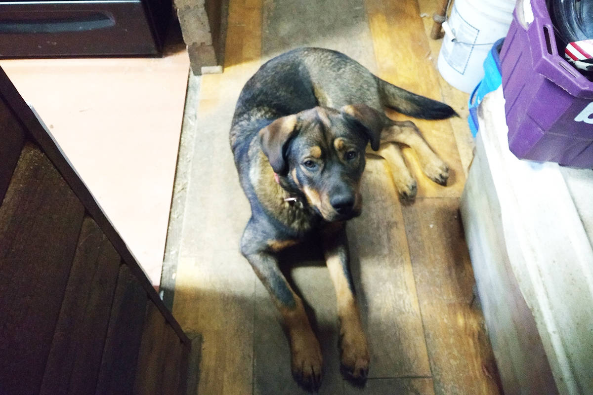 Libby was an 11-month-old shepherd- lab-rottweiler mix. Contributed photo