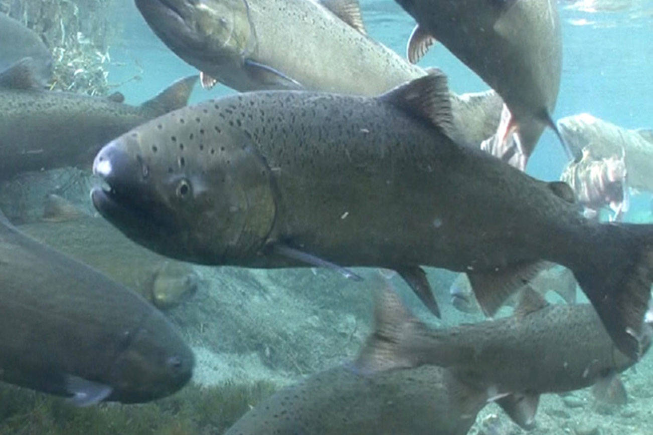Spring Chinook Salmon. (Michael Humling/ US Fish & Wildlife Service)