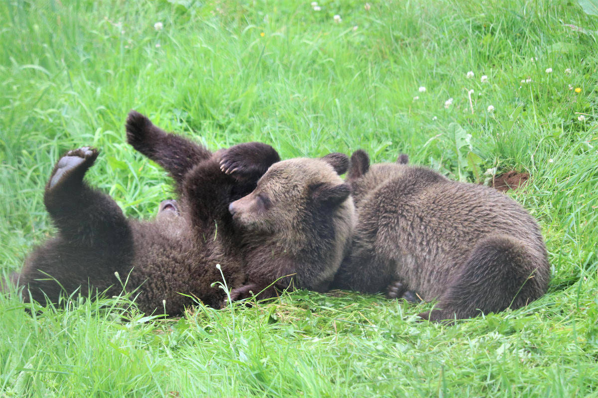 Three orphaned grizzly bear cubs came into the care of the Greater Vancouver Zoo in Aldergrove this week, from the Calgary zoo after their mother was killed by hunters. (Greater Vancouver Zoo photo)