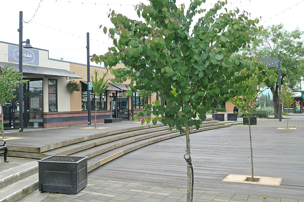 Because support straps were left on too long, several newly planted trees had to be removed from McBurney Plaza in Langley City. New trees were planted in early June, 2020. (Dan Ferguson/Langley Advance Times)