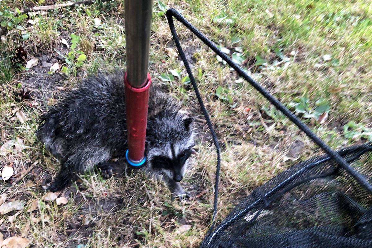 Saanich animal control officer Mike Gibson used a catch-pole to lift a baby raccoon out of a 10-foot drainage pipe on July 10. (Photo submitted by Mike Gibson)