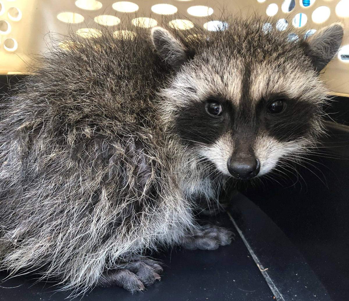 Mike Gibson, an animal control officer with Saanich Police Department, was called to rescue a baby raccoon that had gotten stuck in a drainage pipe on July 10. (Photo submitted by Mike Gibson)