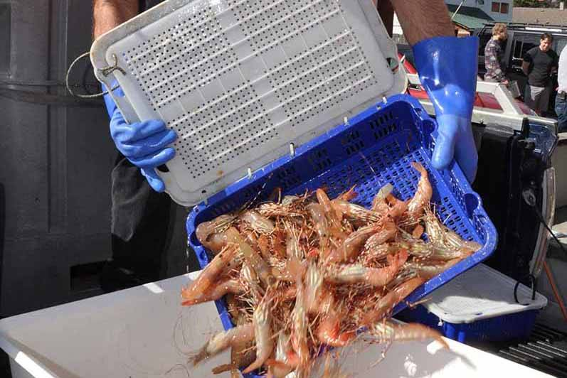 A fresh catch of wild spot prawns is unloaded at Mad Dog Crabs in Duncan, B.C. (Warren Goulding file photo)